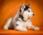 image of puppy eyes  - siberian husky puppy  with blue eyes lying orange background - JPG