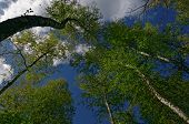 image of birching  - Poland.Bory Tucholskie National Park in spring.View from the bottom on crowns of birches on the background of the sky