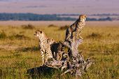 picture of cheetah  - Cheetah mom and two cubs on an old root - JPG