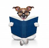 pic of jacking  - jack russell dog sitting reading a big book isolated on white background - JPG