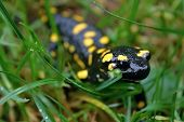 pic of amphibious  - Fire salamander  - JPG