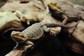 stock photo of dragon  - Central bearded dragon  - JPG