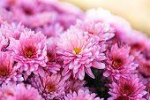 pic of chrysanthemum  - Pink chrysanthemum flowers close up on the bush - JPG