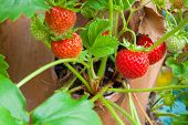 picture of strawberry plant  - Strawberry plant in a terracotta pot close up of fruits ready for picking - JPG