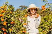 image of mandarin orange  - Smiling caucasian girl in white tshort and hat harvesting mandarins and oranges in organic farm - JPG