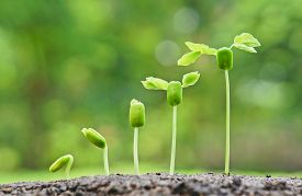 image of germination  - baby plants growing in germination sequence on fertile soil with natural green background - JPG
