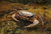 Blackback land crab (Gecarcinus lateralis), also known as the Bermuda land crab.  poster