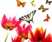 Постер, плакат: тюльпаны с бабочками