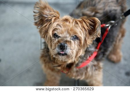 poster of dog. A very old small dog on a leash. Small brown dog out for a walk in downtown Los Angeles Califor