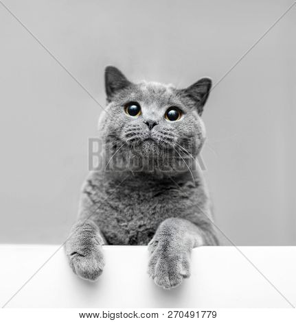 poster of Fluffy grey cat in playful mood leaning out. British shorthair cat. Animal portrait.