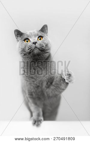 poster of Cute grey cat raising his paw, playing. British shorthair cat, purebred pet.