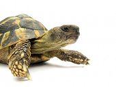 stock photo of testudo  - Turtle Testudo hermanni tortoise - JPG