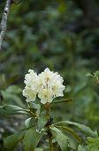 Cunninghams White Rhododendron, Rhododendron Caucasicum, Rhododendron Ponticum Var. poster