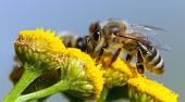 Detail Of Bee Or Honeybee In Latin Apis Mellifera, European Or Western Honey Bee Pollinated Of Yello poster