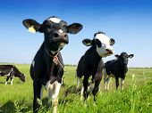 foto of dairy cattle  - Calves on the field - JPG