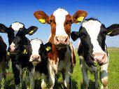 image of dairy cattle  - Calves on the field - JPG