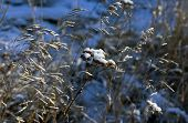 Seeds Of A Weed Plant Covered With The First Snow Among Ears Of Weeds poster