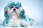 picture of hair curlers  - Shih tzu dog with curlers - JPG