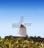 foto of nopal  - Lanzarote Guatiza cactus garden windmill and nopal chumbera in canary Islands - JPG