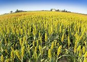 picture of sorghum  - sorghum field with a farm in the distance - JPG