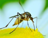stock photo of malaria parasite  - A Mosquito perched on a flower feeding - JPG