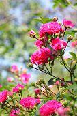 image of climbing roses  - Flowers of pink climbing roses on a sunny day - JPG