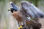 stock photo of falcon  - A Peregrine Falcon poses for the camera at the Carolina Raptor Center - JPG