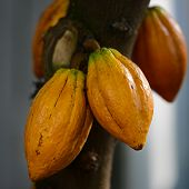 image of bean-pod  - Cocoa  - JPG