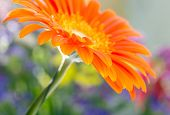 image of gerbera daisy  - Closeup photo of orange daisy - JPG