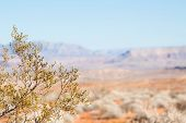 Creosote Bush Against Mojave Desert
