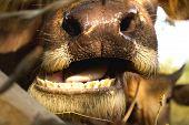 image of cape buffalo  - Buffalo chewing grass in the farm  - JPG