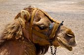 pic of dromedaries  - African brown dromedary bite in nature daytime summer - JPG