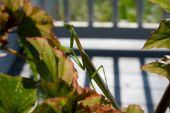 Praying Mantis Begonia