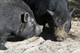 stock photo of pot-bellied  - Two Vietnamese potbellied pigs on a farm in South Africa - JPG
