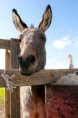 image of soma  - the group of donkeys near the wall - JPG