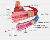 pic of blood  - The blood vessels are the part of the circulatory system that transports blood throughout the human body - JPG