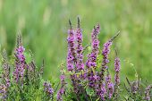 foto of wetland  - purple wetland wild flowers growing in summer season - JPG