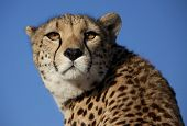 foto of cheetah  - A portrait of a beautiful cheetah sitting in the sunlight