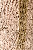 image of walnut-tree  - bark of old walnut tree - JPG