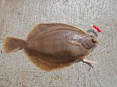 image of dab  - a fresh line caught flatfish  - JPG