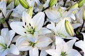 stock photo of easter lily  - White lilies - JPG