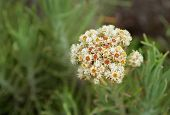 stock photo of edelweiss  - Edelweiss flower on top of Volcano Merapi - JPG