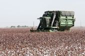 foto of pima  - a cotton field is being picked during the fall harvest - JPG