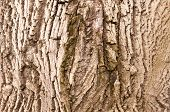 picture of walnut-tree  - bark of old walnut tree - JPG