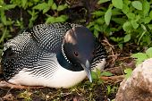 picture of loon  - Closeup of a Common Loon on the Nest on a lake in Northern Wisconsin.  The loon has an ant on it