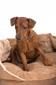 picture of miniature pinscher  - Image pinscher on a brown cushion for dogs on a white background - JPG