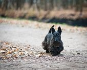 picture of scottish terrier  - scottish terrier in autumn park walking alone