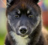 stock photo of husky sled dog breeds  - siberian husky on a dog show in summer - JPG