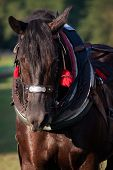 foto of harness  - Draft horse in harness on the farm - JPG