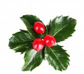 foto of aquifolium  - European Holly  - JPG